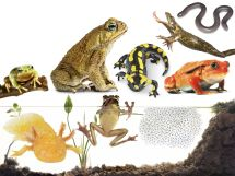 Types of Amphibians Amphibians for Kids DK Find Out
