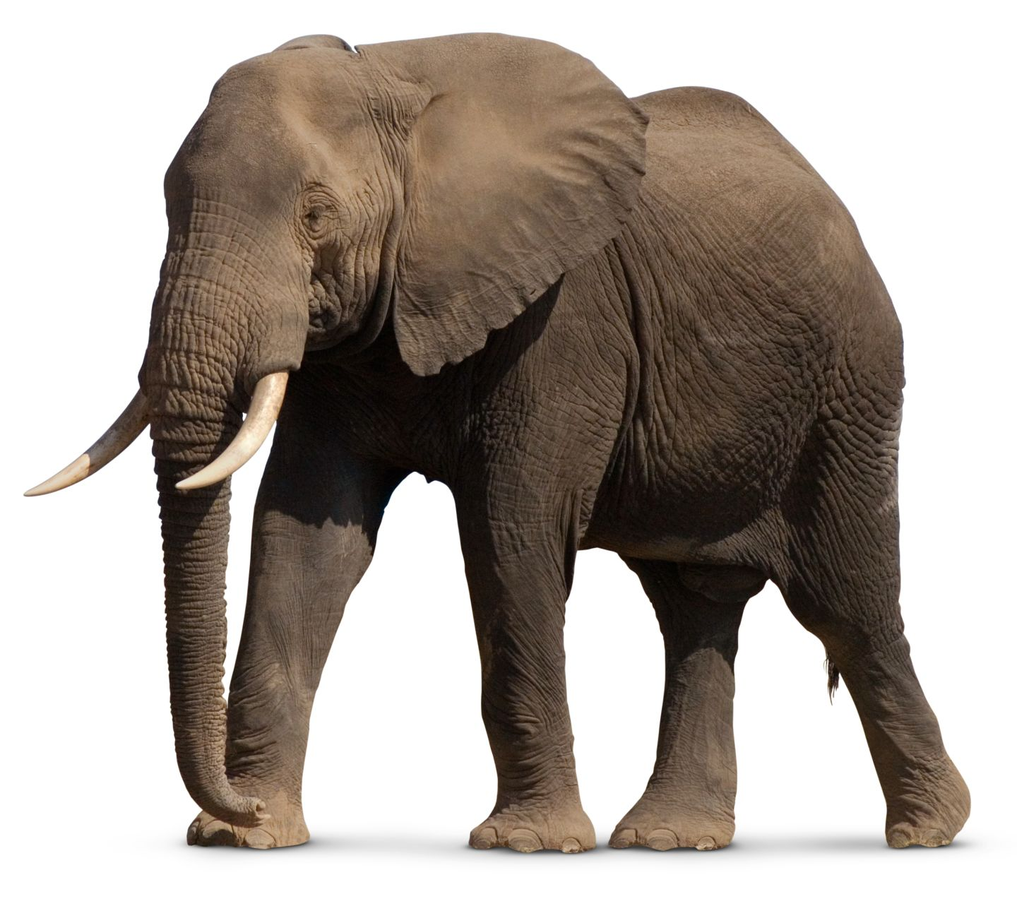 Image result for picture of an elephant