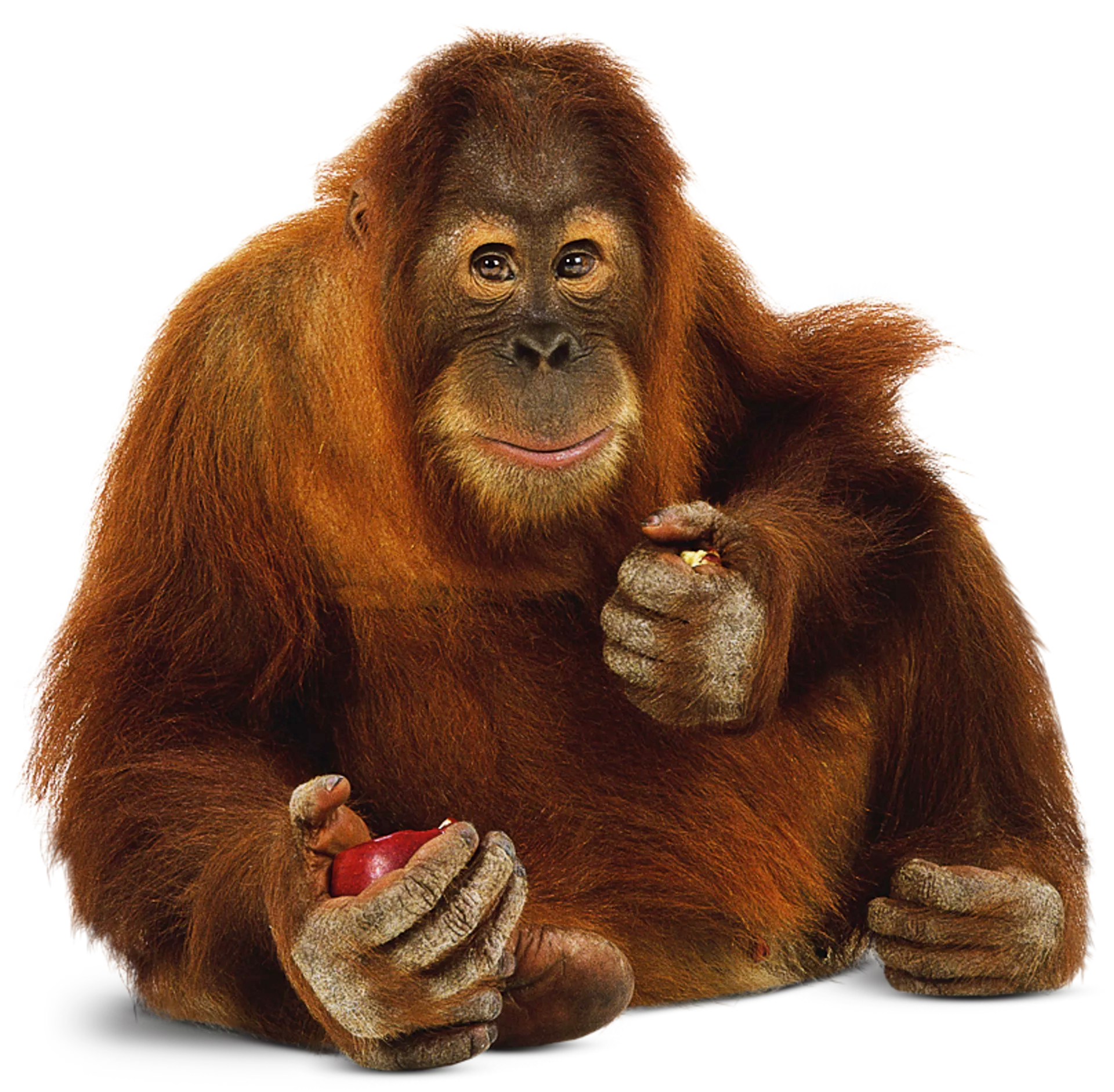 Orangutan Facts For Kids