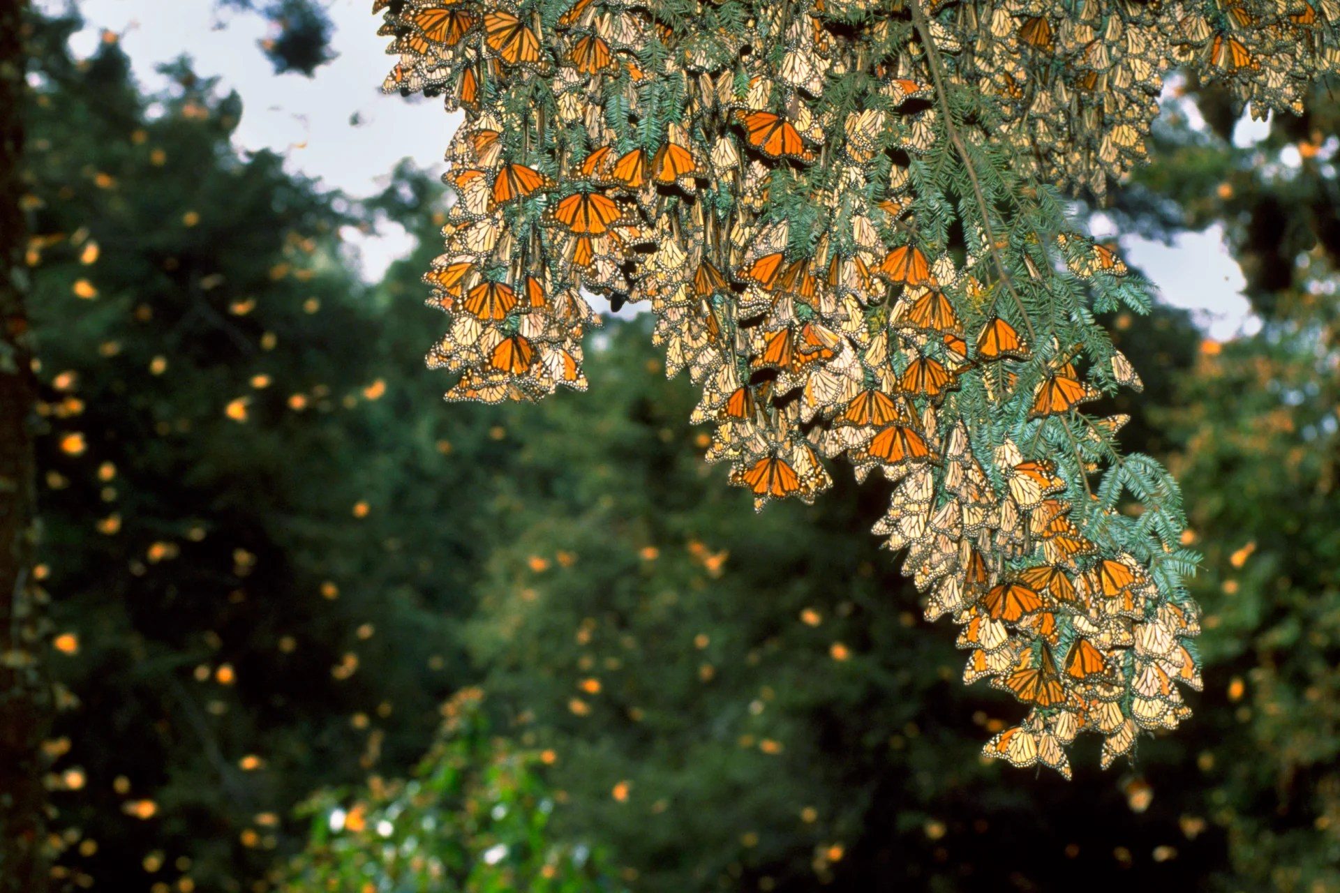 Monarch Butterfly Migration Facts
