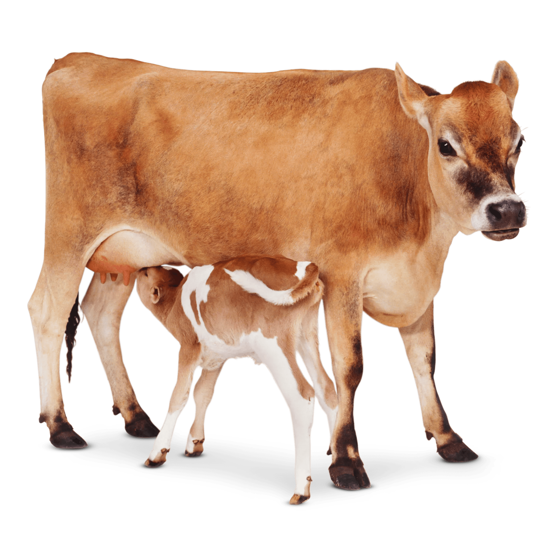 cow facts for kids