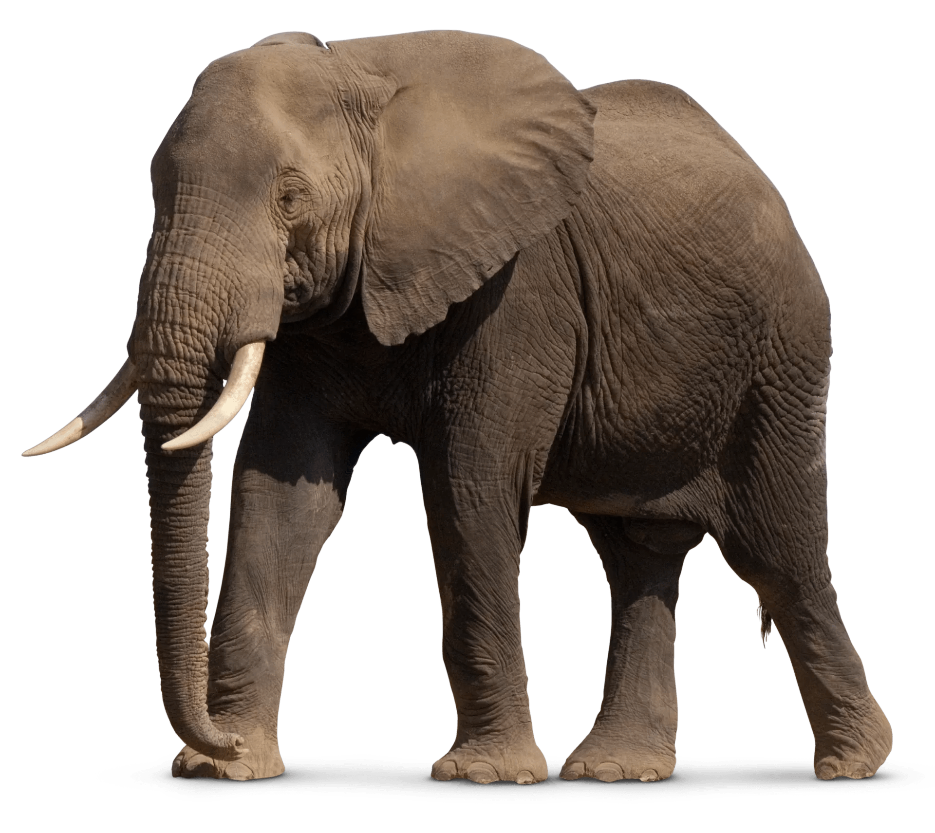 facts about elephants types
