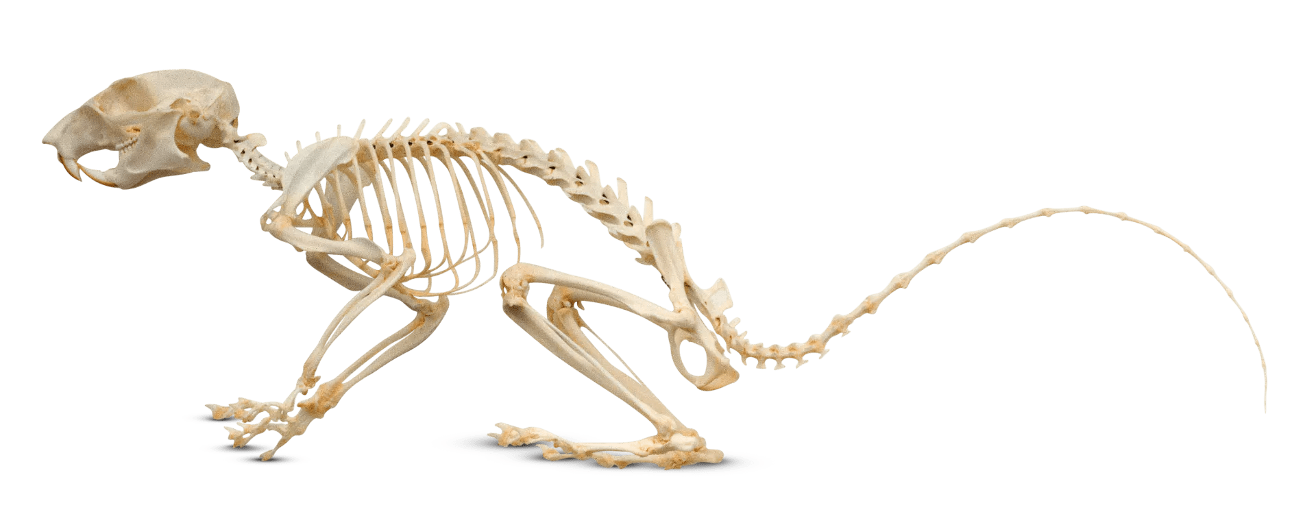 mouse skeletal diagram vacuum for 1970 chevelle rodent anatomy of a dk find out grey squirrel skeleton