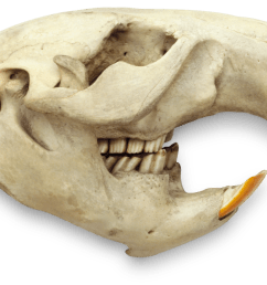 beaver skulls and teeth [ 1920 x 1318 Pixel ]