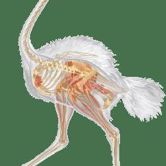 Ostrich Skeleton Diagram Vintage Telecaster Wiring Neck Facts Dk Find Out Inside An