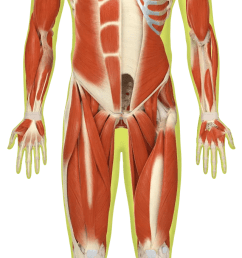 which of these muscles is the strongest  [ 640 x 1643 Pixel ]