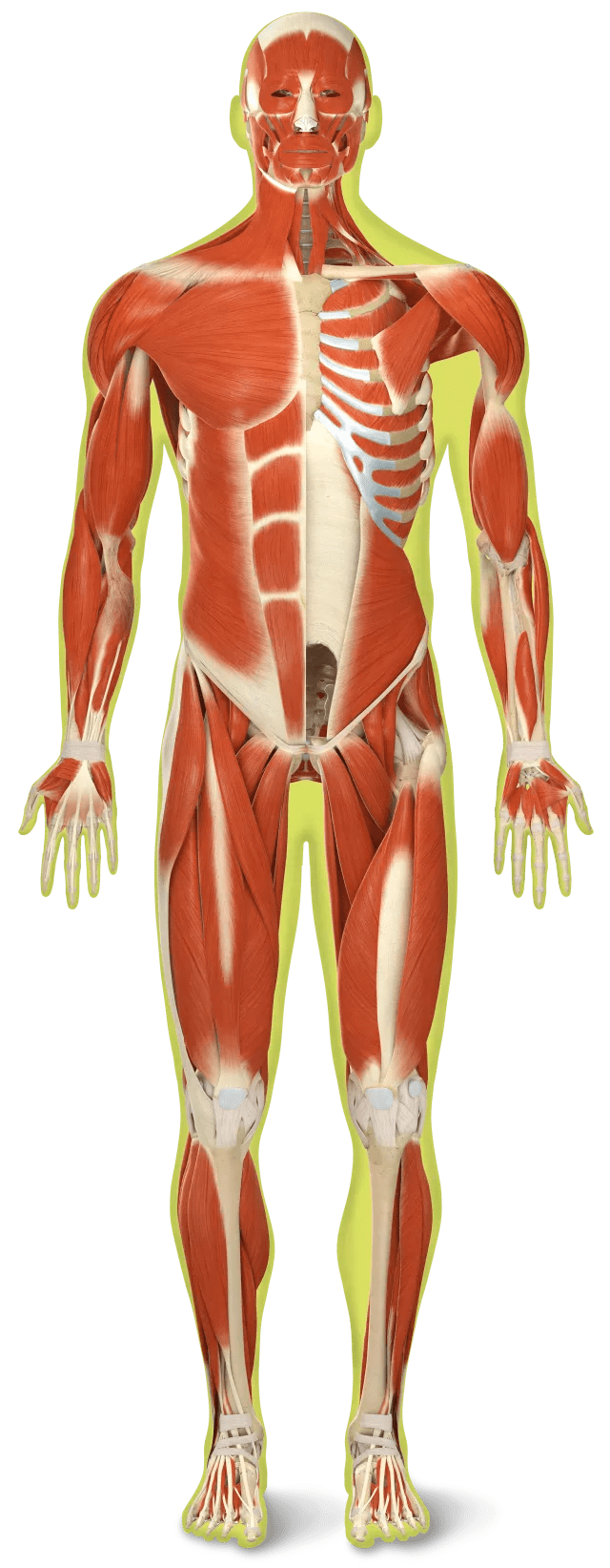 hight resolution of which of these muscles is the strongest
