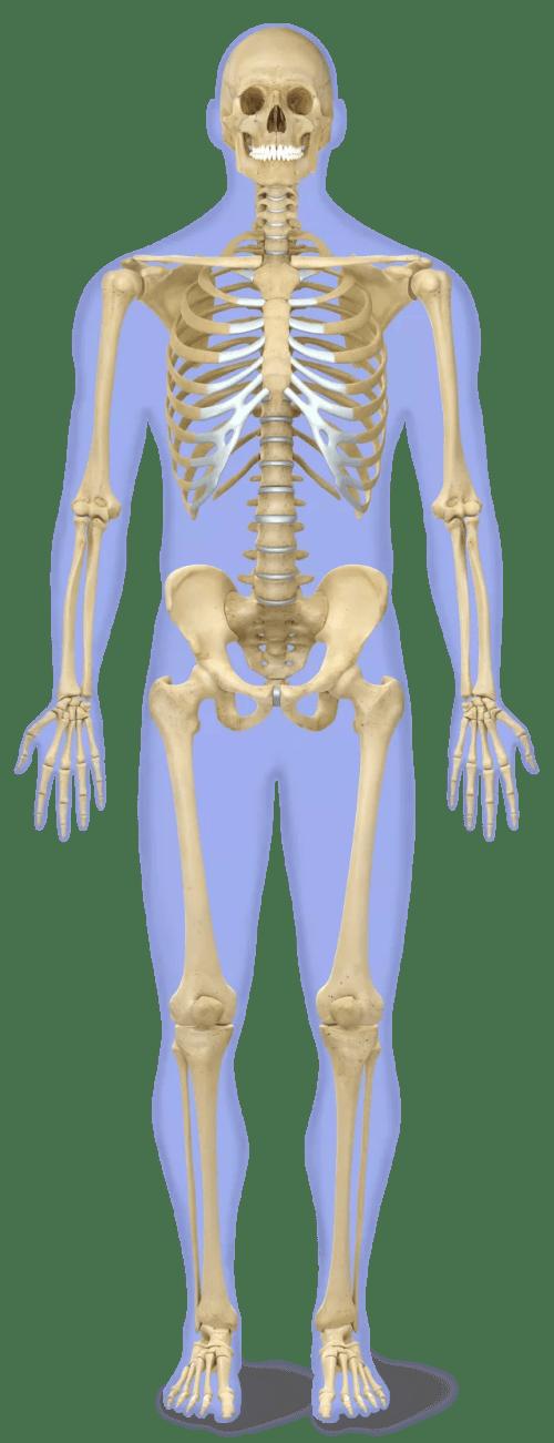 small resolution of skeletal colour x4bf9v