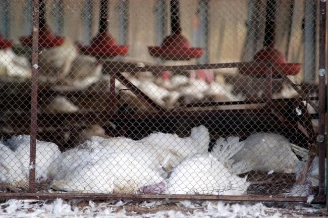 Flu Burung - Gejala, penyebab dan mengobati - Alodokter