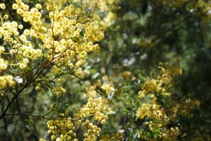 Wattle in late winter
