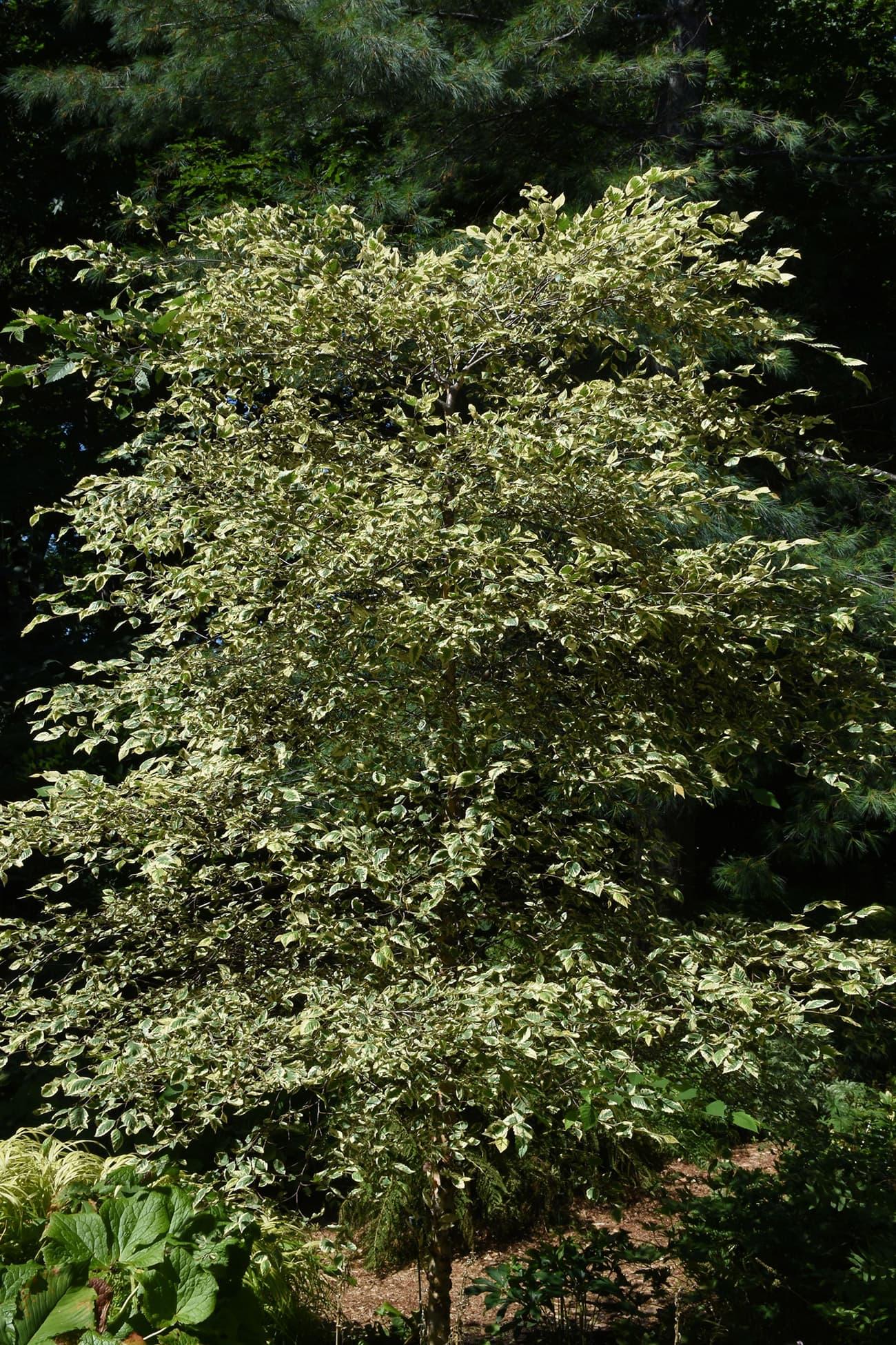 Shiloh Splash River Birch : shiloh, splash, river, birch, LandscapeHub, Plant, Information, Betula, Nigra, 'Shiloh, Splash', (Shiloh, Splash, River, Birch)