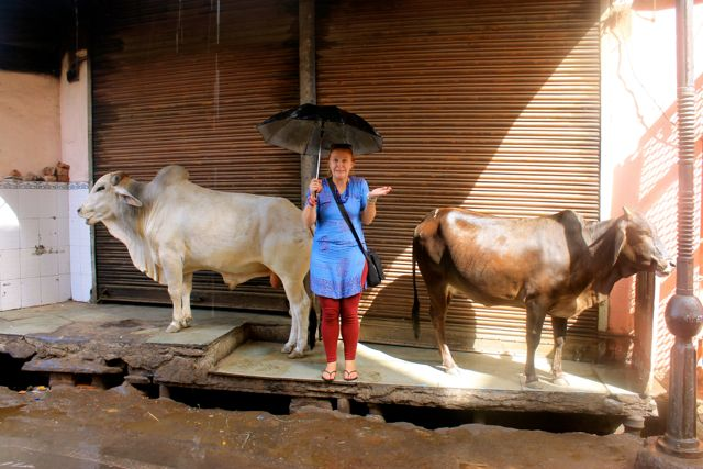 Indian cows...