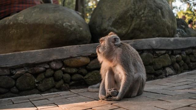 ubud monkey forest lone monkey