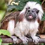 Cotton Top Tamarin License Download Or Print For 1 00 Photos Picfair