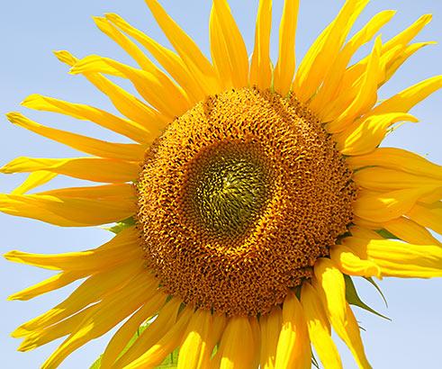 Sonnenblume Franzoesisch