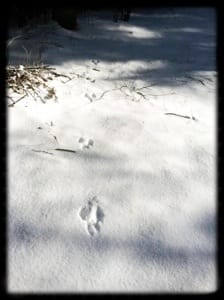 Rabbit prints in the snow at Lake Glenville, NC.