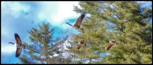 Canada Geese flying over Lake Glenville, NC