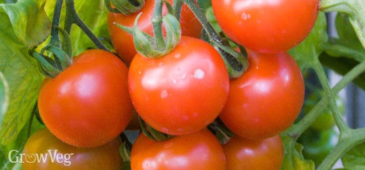 Tomato Plant Diagram Tomato Plants And Prefer