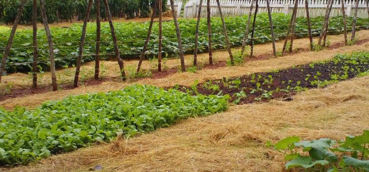 Looking Between The Beds Vegetable Garden Pathways