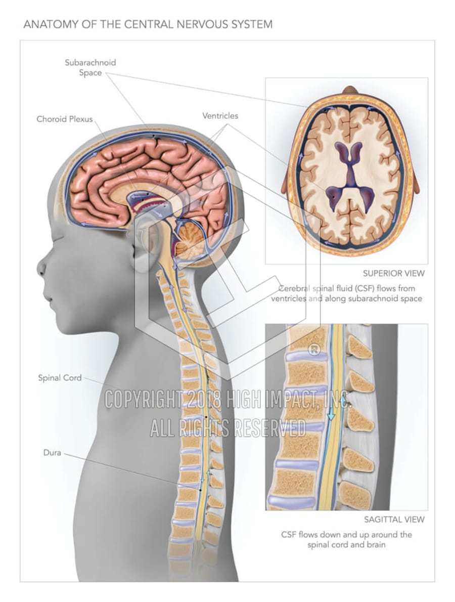 medium resolution of anatomy of the central nervous system high impact visual litigation strategies