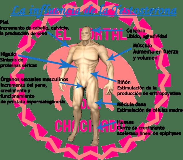 Influencia de la Testosterona en el Cuerpo Humano de El Portal del Chacinado
