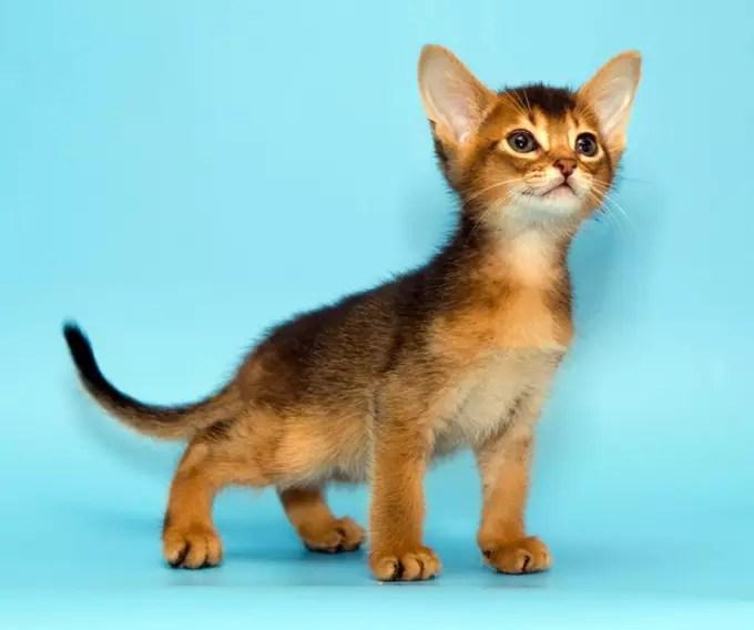 cutest cat breeds petlife