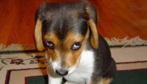 dog eyes guilty