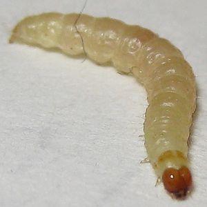 indian meal moth larvae