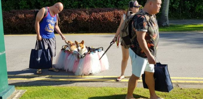 singapore corgi bride groom