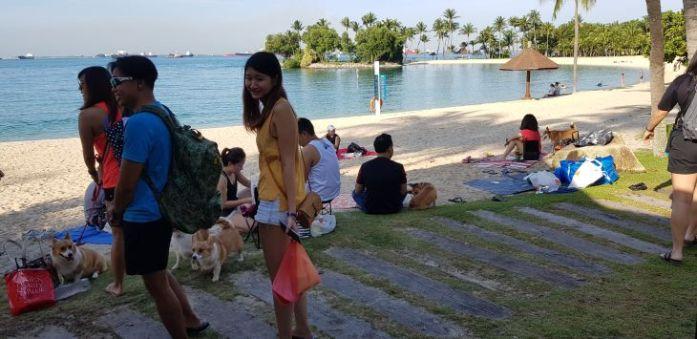 singapore corgi kohepets 1