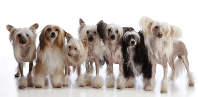 hdb approved dogs chinese crested dog