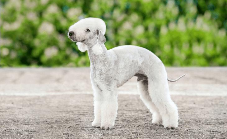 rare dog breeds bedlington terrier