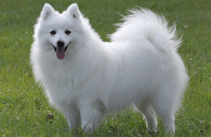 hdb approved dogs japanese spitz