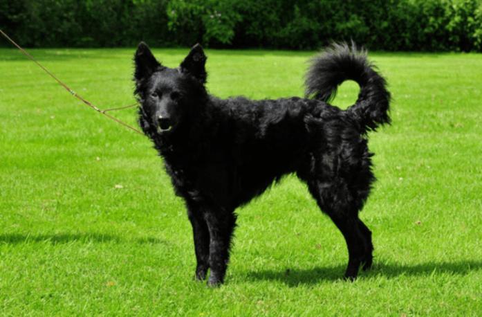 rare dog breeds Mudi