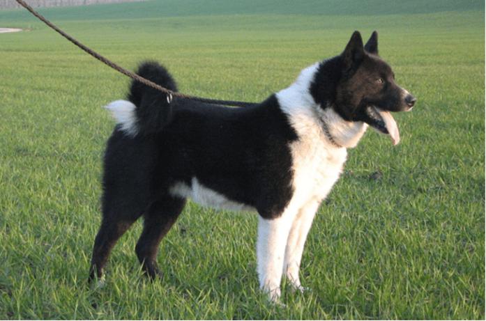 rare dog breeds Karelian Bear Dog