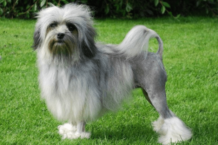 expensive dog breeds lowchen