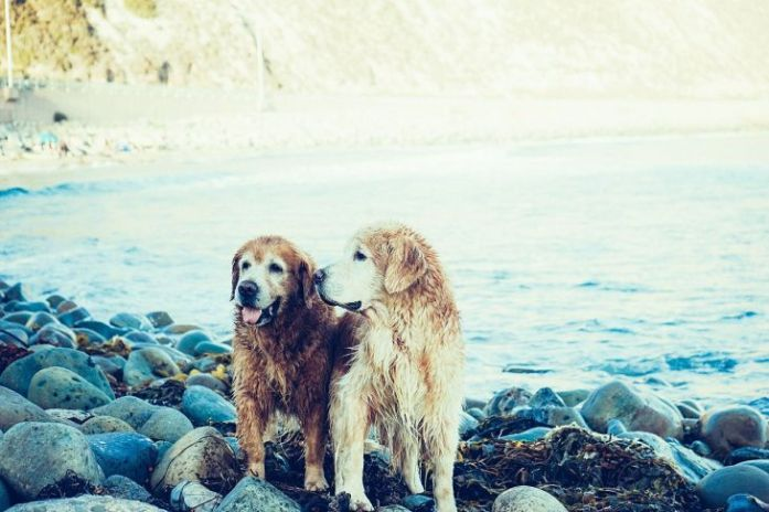 golden retrievers second dog