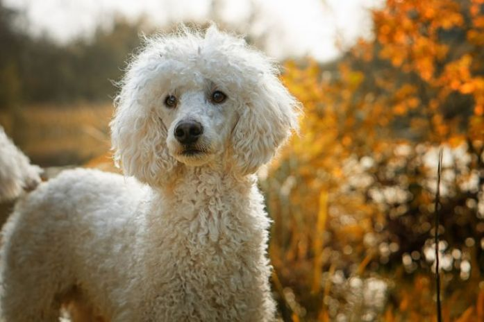 stained poodle