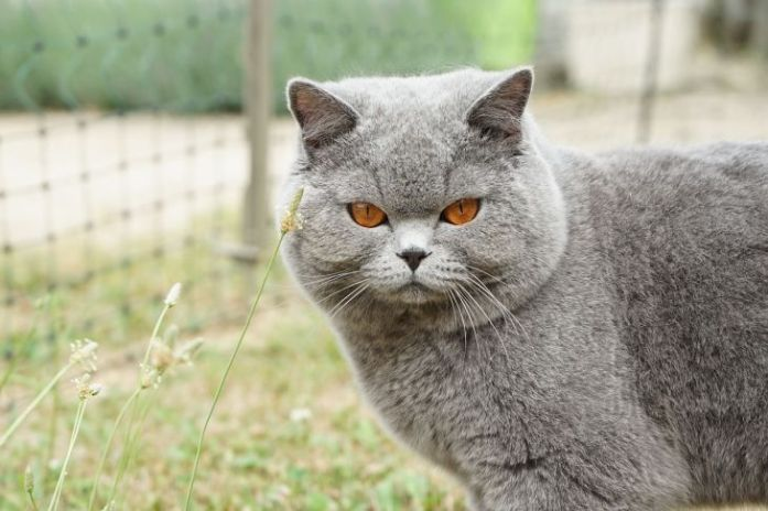10 Most Popular Cat Breeds In Singapore Kohepets Blog