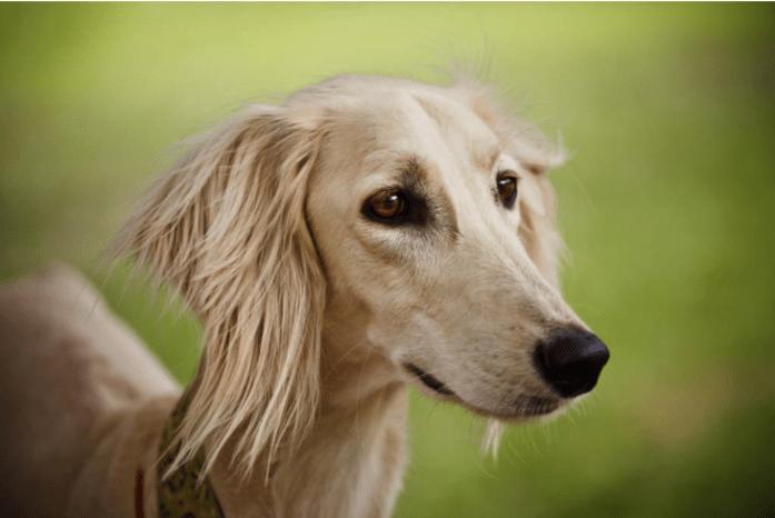 expensive dog breeds Saluki
