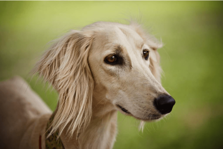 expensive dog breeds Saluki