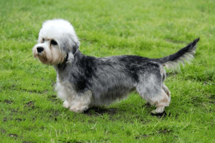 hdb approved dogs Dandie Terrier