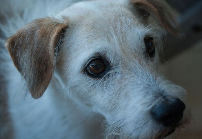 Old Jack Russell