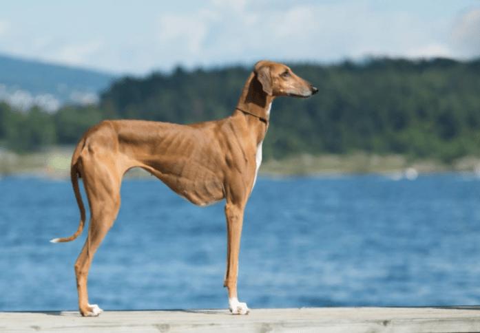 expensive dog breed azawakh