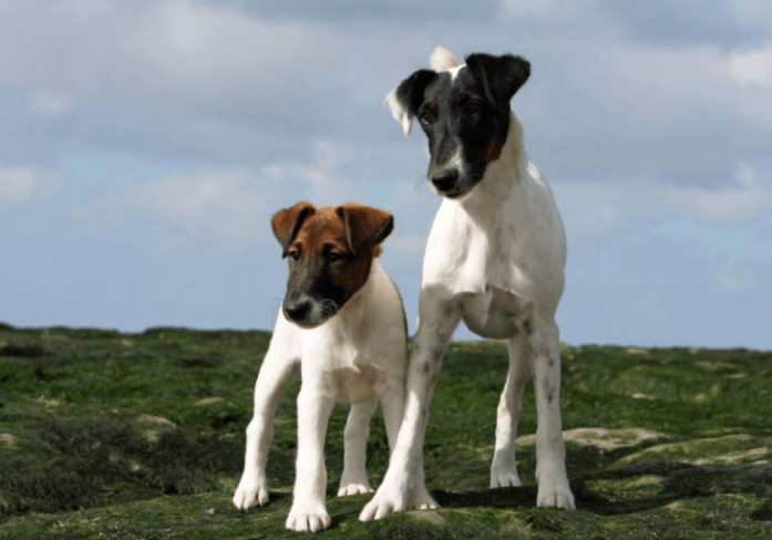 hdb approved dogs Smooth Fox Terrier