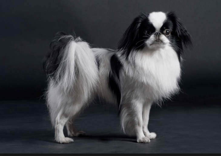 hdb approved dogs Japanese Spaniel