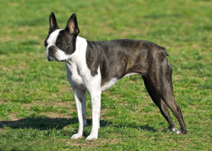 hdb approved dogs Boston Terrier – Lightweight:Middleweight