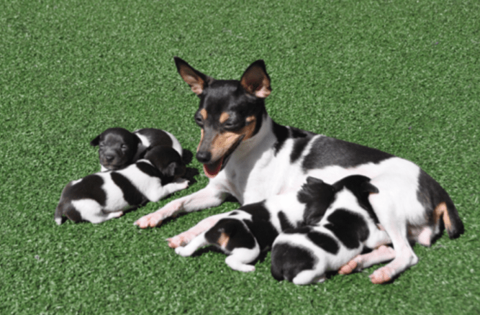 hdb approved dogs Toy Fox Terrier