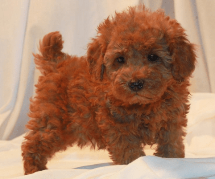 hdb approved dogs Miniature Poodle