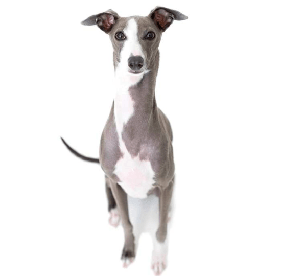 hdb approved dogs Italian Greyhound